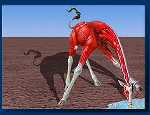 http://www.mess.net/galleria/brain_muscles/giraffe_muscle.jpg