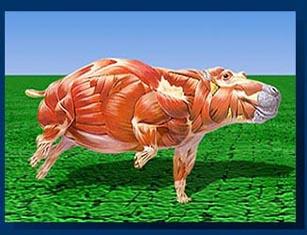 http://www.mess.net/galleria/brain_muscles/hippo_muscle.jpg